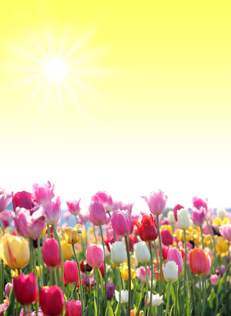 springlike sunny background with tulip blossoms and copy space Standard-Bild