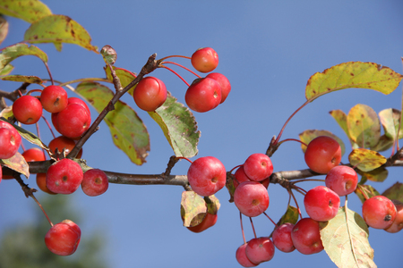 tree branch: crab apple tree with red apples, malus baccata