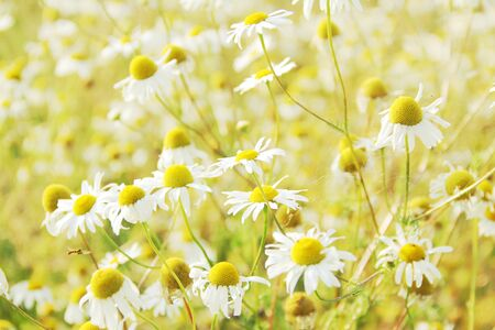 healing plant: wild chamomile flowers - alternative healing plant Stock Photo