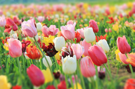 colorful tulip blossoms on the field, gradient sharpness