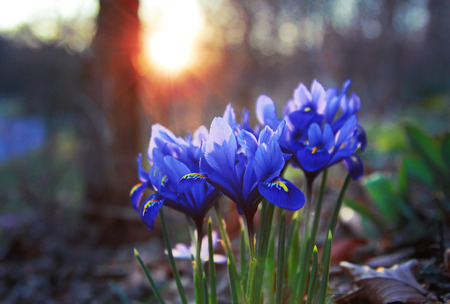 reticulata iris: spring flowers iris reticulata, at sunset in the park