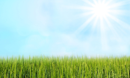 airy: grainfield and airy sky with bright sunshine, agricultural background