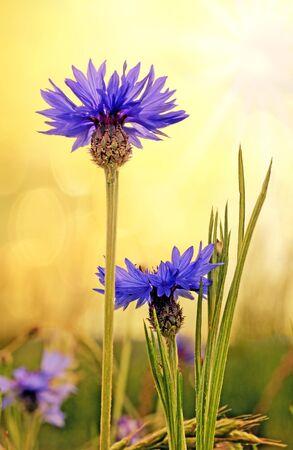 bluet: blue cornflowers in a field, warm sunset colors
