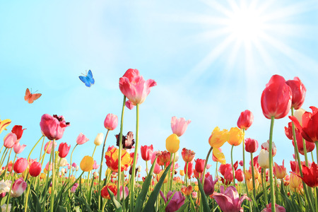 pink flower: bright sunny day in may with tulip field in various colors