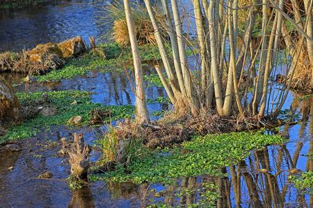 berro: berros frescos en un arroyo, hierba curativa y la planta gourmet