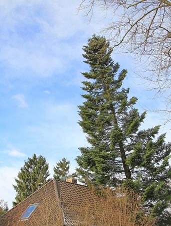 overthrown: overturned fir tree, leaning on house roof, storm damage Stock Photo