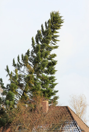 storm damage: overthrown fir tree, leaning on house roof, storm damage