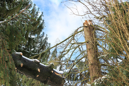 overthrown: broken tree with storm damage Stock Photo