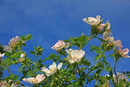 blooming dog rose bush against blue sky