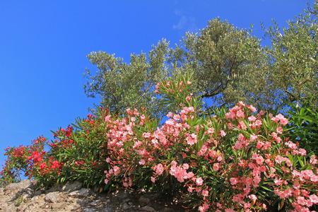 oleander: blooming oleander and olive trees, mediterranean plants