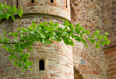 medieval medicine: fresh green ginkgo branches and old medieval castle brick wall Stock Photo