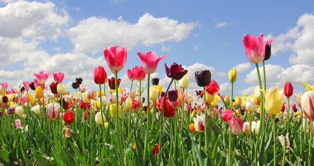 bright tulip field in miscellaneous colors and kinds, blue sky with clouds Stockfoto