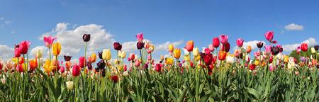 panorama pola tulipanów z różnego rodzaju i koloru