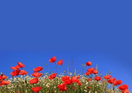 양 귀 비와 marguerites, 복사 공간이 푸른 하늘 배경