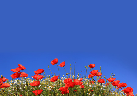 poppies and marguerites, blue sky background with copy space Stockfoto