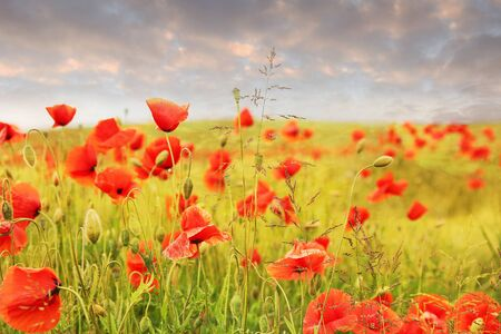 campo de amapolas: red poppy field and cloudy sky at evening time