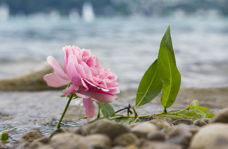 rosas naranjas: una rosa fresca en la orilla del lago, playa con piedras de cantos rodados