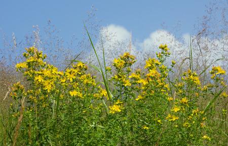 medical  plant: Saint Johns mosto flor silvestre, planta medicinal hip�rico aire libre Foto de archivo
