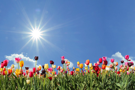 panorama tulips in various colors, blue sky with bright sunshine and freespace