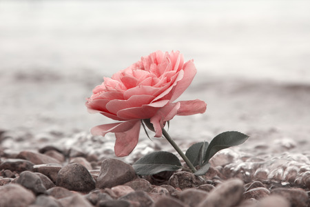 one rosy rose flower at the stony beach, soft water background