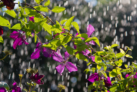 april: purple clematis creeper in a rain shower