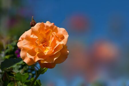color in: fragrant rose in orange pastel color, in the garden Foto de archivo