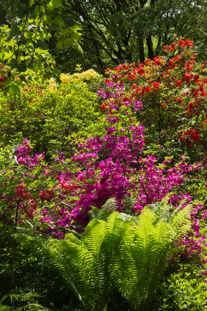hardy: beautiful blooming rhododendrons and fern in the garden
