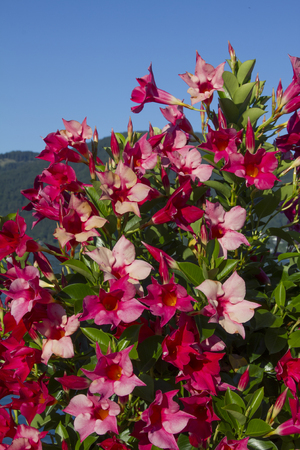 rambler: beauftiful mandevilla rambler flowers in pink and red Stock Photo