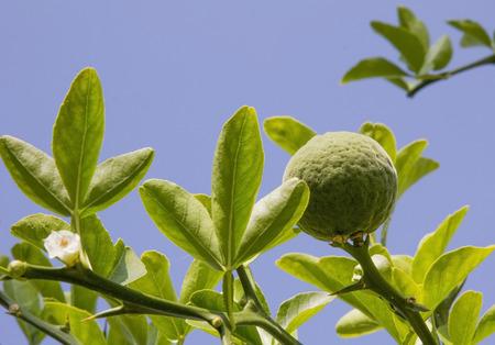 bitter orange: bitter orange - poncirus trifoliata against blue sky