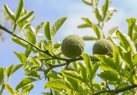 bitter orange: bitter orange bush with green fruits - poncirus trifoliata