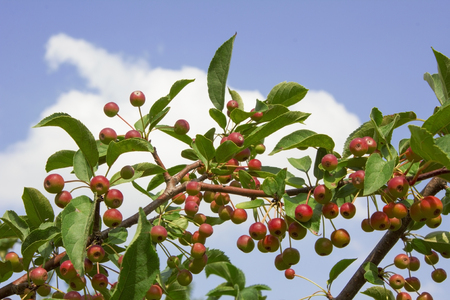 crab apple tree: crab apple tree with many tiny red apples, blue sky with clouds Stock Photo