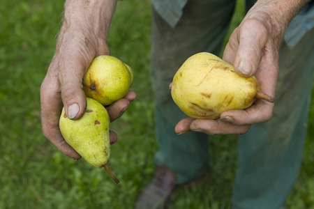 old farmer: old farmer picking ripe yellow pears in the garden Stock Photo