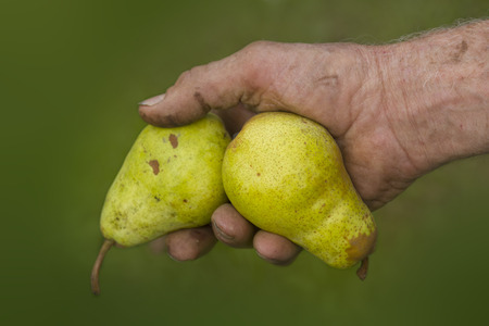 picked: old farmers hands with two picked ripe yellow pears