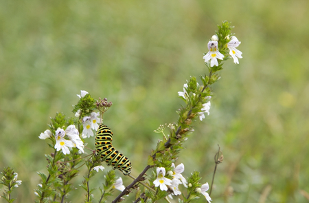 seldom: beautiful caterpillar of a swallowtail butterfly on a eyebright plant