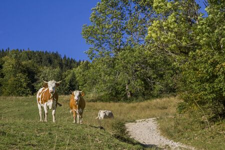 dappled: two dappled cows beside hiking path in the alps