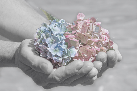 color key: hydrangea blossoms in a mans hand, farewell scene soft color key Stock Photo