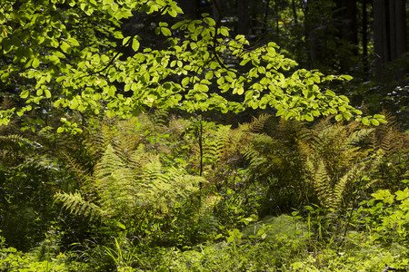 luminous: luminous forest glade with beech tree branches and fern plants