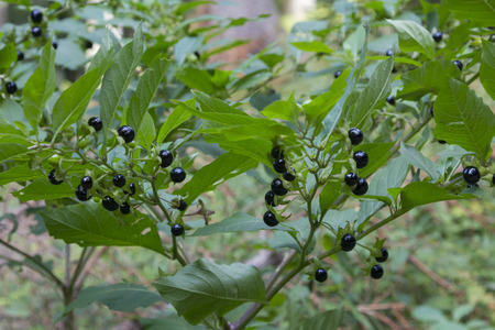 deadly: deadly nightshade bush with toxic berries, homeopathic medical plant