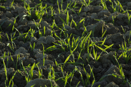 sprouting: sprouting wheat plants in the field