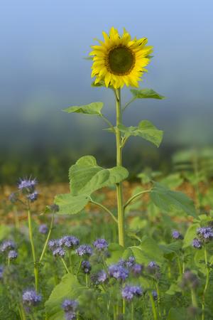nurseries: blooming sunflower in phacelia field, bee flower nurseries