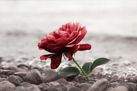 one red rose flower at the stony beach, soft water background Standard-Bild