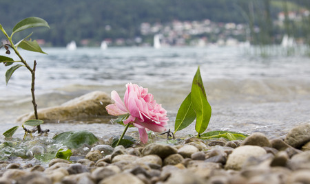 grieve: one rose at stony lake shore, farewell scene