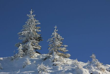 is cloudless: snowy spruce trees against blue cloudless sky