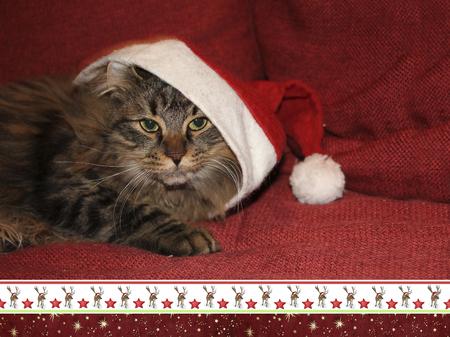 christmassy: siberian cat with saint nicholas cap. christmas card design with christmassy border