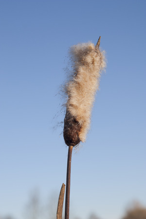 bullrush: blooming brown cattail against blue sky