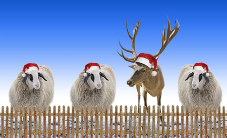 paling: group of sheep and reindeer with nicholas hat behind paling fence, xmas design