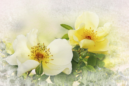 yellow dog roses, floral card design with texture frame
