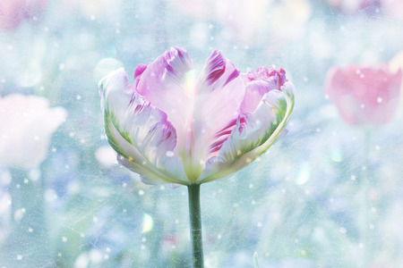 tricolored parrot-tulip, spring awakening design, with snowflakes and texture