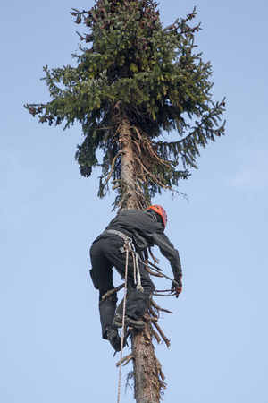 woodworker: woodworker with security equipment, climbing up a fir tree