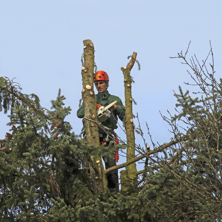 tree felling: lumberjack in the top of a tree, felling the fir tree with a chain saw Stock Photo